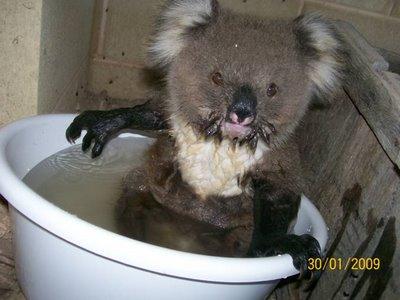 Koala cooling off 4
